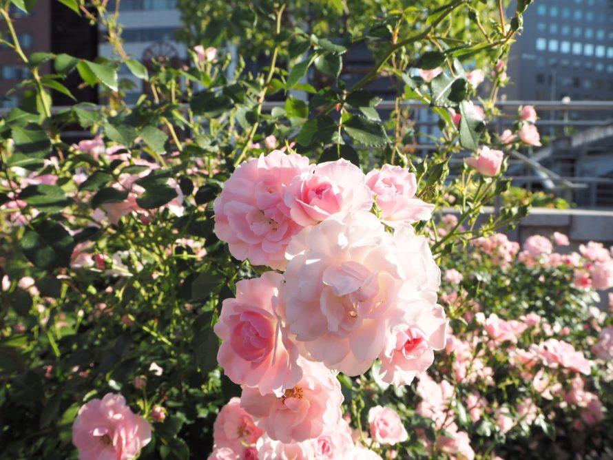 大阪ではバラが満開です。の画像
